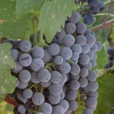 Anomaly Vineyards